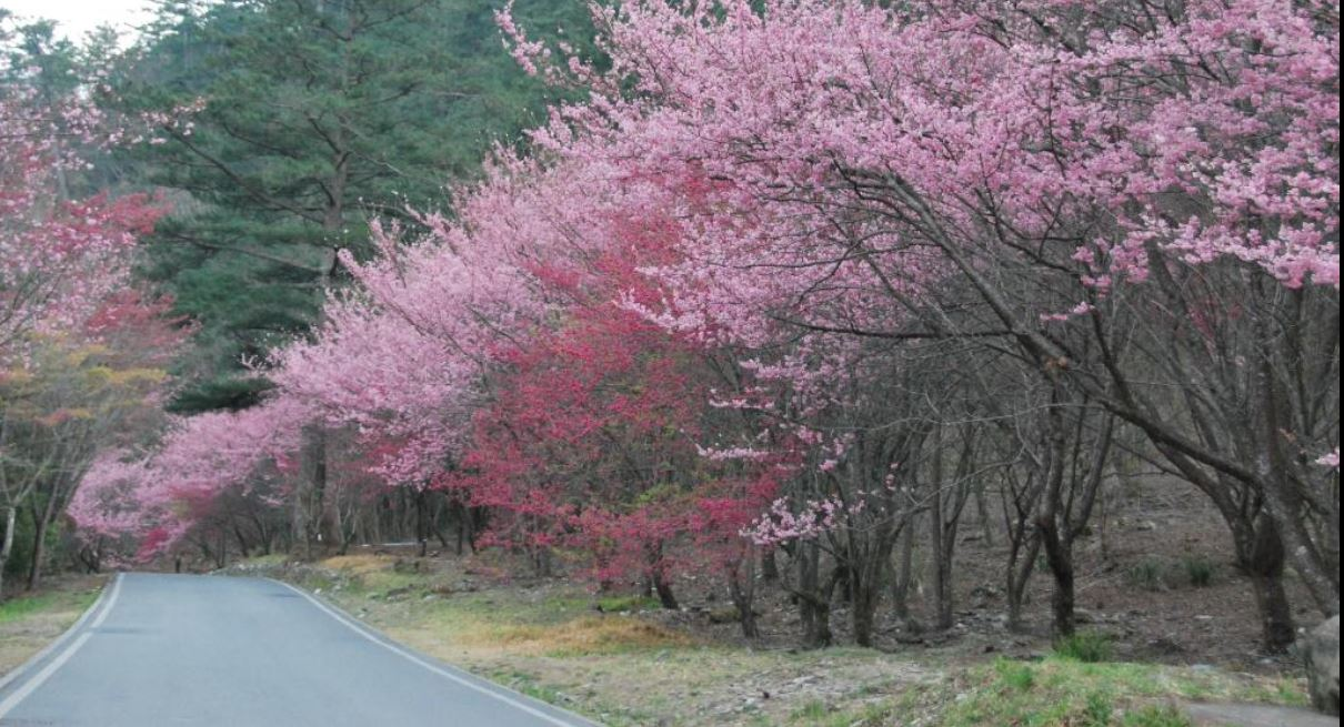 wuling farm cherry blossom